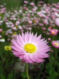 Photo about Pink everlasting flowers native to Western Australia. It is commonly known as the paper daisy. Image of bloom, spring, garden - 3484986 Australian Wildflowers, Australian Native Flowers, Pretty Flowers, Wild Flowers, Native Tattoos, Australian Native Garden, Paper Daisy, Pink Mirror, Love Garden