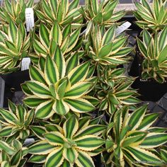 "Agave lophantha 'Quadricolor' Nice size and pups well for sharing. Eye catching- eye Candy. ""Ralphie, You'll poke your eye out"""