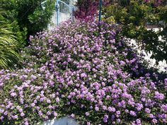 Flowers in Calasetta (#Sardinia South-West) are wonderful!!!
