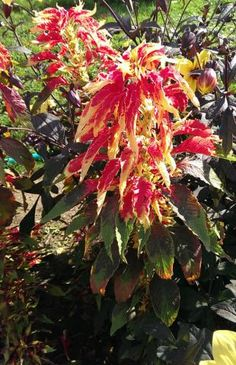 Amaranthus tricolor - How to grow & care Small Flowers, Colorful Flowers, Amaranth Plant, Vegetative Reproduction, Amaranthus, Plant Information, Wonderful Flowers, Leaf Coloring, Ornamental Plants