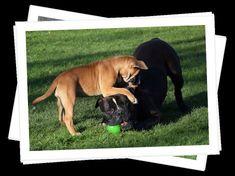 Continental Bulldog, Dogs, Animals, Animales, Animaux, Pet Dogs, Doggies, Animal, Animais