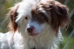 `Website for organization helping pets and owners. Chinese Crested Powder Puff, Chinese Crested Dog, Pup, Photo Galleries, Organization, Website, Friends, Gallery, Dogs