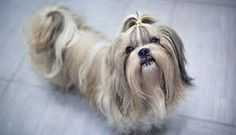 Love long-haired dogs and all their fluffy charm? Check out this list of long-haired dog breeds, and find out which is best for you. Pit Terrier Mix, Wheaten Terrier Mix, Cairn Terrier, Pitbull Terrier, Terriers, Best Hair Brush, Dog Haircuts, Best Brushes, Irish Terrier