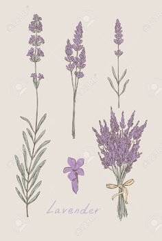 Lavender Hand Drawn Set Royalty Free Cliparts, Vectors, And Stock Illustration. Image 16789265.