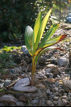 By Heather Rhoades If you have access to a fresh coconut, you might think that it would be fun to grow a coconut plant, and you would be right. Growing a coconut palm tree is easy and fun. Below you will find the steps for planting coconuts and growing coconut palms from them. Planting Coconut…