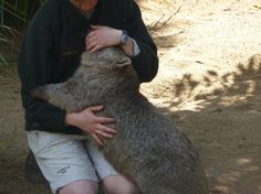 wombats like to give hugs, too, as well as get them! Nature Animals, Wild Animals, Cute Animals, Opossum, Phish, Wombat, All Gods Creatures, Extinct, Tasmania