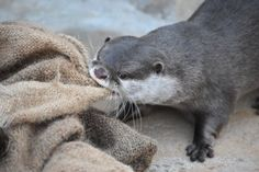 Otter REALLY wants to move this sack.  Source: https://twitter.com/ueda_otter/status/686778113150193665