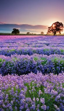 Bluebonnets in Austin, Texas -resemble lavender fields in France