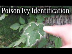 Poison Ivy Identification - How to Identify Poison Ivy Plants - YouTube