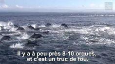 Les orques aussi ont de la culture ! - Sciencesetavenir.fr