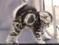 hissy fit - Not a happy kitty - ED