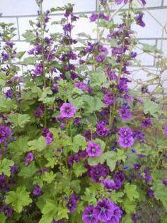 Kaasjeskruid (Malva sylvestris) Gras, Vegetable Garden, Hibiscus, Perennials, Seeds, Plants, Gardening, Travel, Life