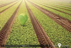 McDonald's: Lettuce