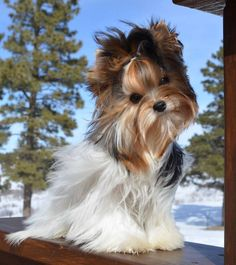 Here are our beautiful Rocky Mountain Biewer Terrier Girls. Teacup Puppies, Cute Puppies, Cute Dogs, Dogs And Puppies, Doggies, Biewer Yorkie, Yorkie Puppy, Animals And Pets, Cute Animals