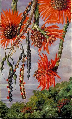 Flowers of another kind of Coral Tree  by Marianne North  Location: Brazil  Plants: Coral Tree  © Kew Gardens, London  www.kew.org/...