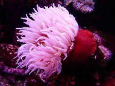 Haitian Pink Tip Anemone - salt water fish tank Saltwater Tank Setup, Saltwater Aquarium Fish, Saltwater Fishing, Reef Aquarium, Salt Water Fish, Salt And Water, Sea Anemone, Marine Life, Sea Creatures