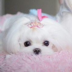 Cute Maltese …