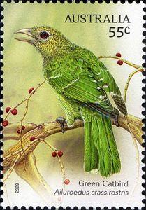 Green Catbird (Ailuroedus crassirostris)