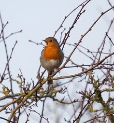 Beautiful robin, singing his heart out amongst the bare, wintery branches of a Suffolk garden. Spring Song, Robins, Terra Cotta, Branches, Singing, Breast, Cottage, Lovers, Bird