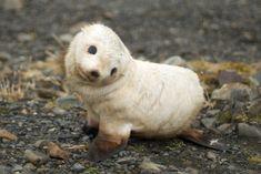 Baby fur seal, South Georgia. Photo: Ville Miettinen, Wikimedia Commons