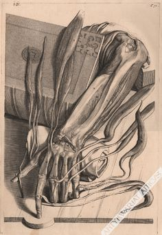 """Work of Govert Bidloo, Dutch doctor and anatom. In the """"Anatomia Humani Corporis"""" from the late XVIIth century, famous works of this kind in its time, more than one hundred images of the human body and its parts were shown. https://www.atticus.pl/?pag=poz&id=95329 https://www.atticus.pl/?katalog=ryciny #engraving #medicine"""