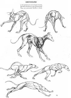 Anatomy Drawing Reference Greyhound dog anatomy reference and movement - Dog Anatomy, Animal Anatomy, Anatomy Drawing, Anatomy Art, Anatomy Poses, Anatomy Sketches, Anatomy Study, Animal Sketches, Animal Drawings
