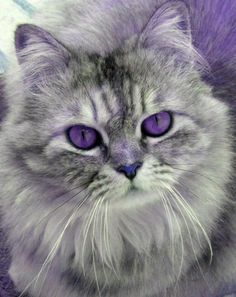 This picture is photoshopped! Before any more foolishness and embarrassment goes on! Cats and other mammals, at least, do not have purple eyes. Other parts of her fur are colorized as well. ~~~~~ This would make a very nice color palette for my bedroom. Cute Kittens, Cats And Kittens, Pretty Cats, Beautiful Cats, Animals Beautiful, Pretty Kitty, Crazy Cat Lady, Crazy Cats, Animals And Pets