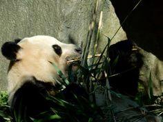 Inspiration began at Edinburgh zoo when I was lucky enough to see both pandas up close! Study Photos, Good Job, Panda Bear, Edinburgh, Knowing You, Print Design, Inspiration, Pandas, Biblical Inspiration