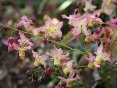 Epimedium x versicolor ´Cupreum´, blekgul sockblomma En lättanvänd och tacksam sort för de flesta lägen, även torka. Vackert rödbrunt bladutspring ackompanjerat av gula och gammelrosa blommor. Huvudsakligen klumpbildande och lämplig i rabatter eller stenparti. 25 cm.