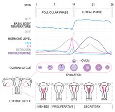 basal body temperature. This chart may also answer the question as to why I become irritatable and emotional around the 14th day. Look at that sudden jump in estrogen and lh