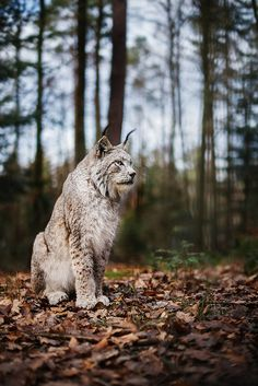 lynx | animal + wildlife photography