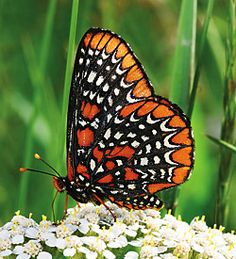 The wonderful Baltimore Checkerspot (Euphydryas phaeton), is the state insect of Maryland. Photo by Phil Kelly via Chicago Wilderness Magazine