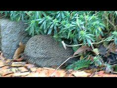 Egel maakt nest - YouTube
