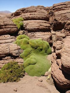Mossy llareta clings to the rocks of the Siloli Desert. by courneya, via Flickr