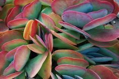 Kalanchoe in W's backyard.  The colors were amazing.