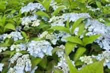 Bluebird Hydrangea