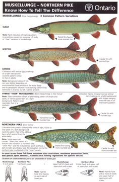Have had a ton of discussions with various fishermen about spotting the differences between pike and muskie. I've even been told that the pike I've caught are Pike Fishing, Bass Fishing Tips, Going Fishing, Trout Fishing, Fishing Lures, Fly Fishing, Fishing Knots, Fishing Stuff, Women Fishing