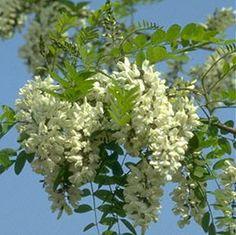 L'Acacia rappresenta la saggezza e la rinascita.