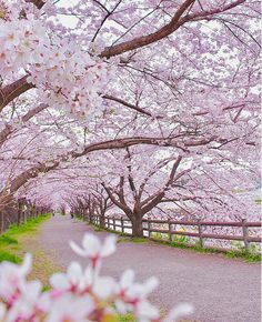 The Pink Road – Sak oíura Beautiful Nature Wallpaper, Beautiful Landscapes, Beautiful Gardens, Beautiful Flowers, Beautiful Places, Beautiful World, Landscape Photography, Nature Photography, Cherry Blossom Wallpaper
