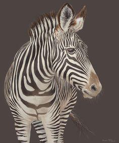 Looking Around (Plains Zebra)