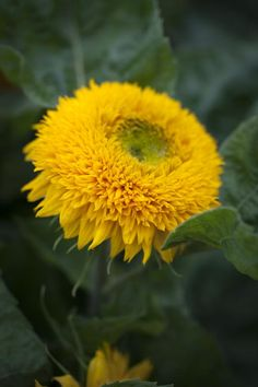 Helianthus annuus, 'Teddy Bear' Seeds from Chiltern Seeds - Chiltern Seeds Secure Online Seed Catalogue and Shop Orange Flowers, Cut Flowers, Paper Flowers, Dwarf Sunflowers, Tree Identification, Seed Catalogs, Cold Frame, Replant, Paper Flower Tutorial