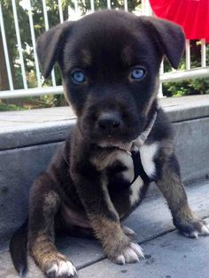 Pitbull and Husky mix ♡ Those blue eyes!!