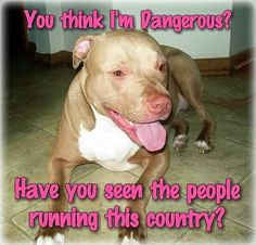 You think i'm dangerous? Have you seen the ppl running the country? something to think about. Bull Pictures, Funny Animal Pictures, Funny Animals, Cute Animals, Animals Dog, Animal Pics, Dog Quotes, Animal Quotes, Animal Memes