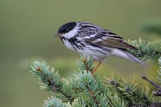 Blackpoll Warbler, Ak, Great Lakes region, New England,  Canada