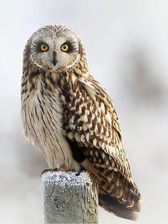 Short eared owl by Dean Eades - BirdMad Beautiful Owl, Animals Beautiful, Cute Animals, Owl Photos, Owl Pictures, Owl Bird, Pet Birds, Short Eared Owl, Photo Animaliere