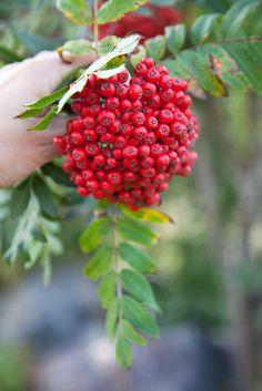 ...berries:   Livs Lyst