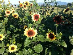 Assorted sunflowers at McMillan Farms. Sunflowers, Farms, Plants, Homesteads, Plant, Sunflower Seeds, Planets