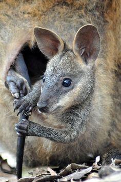 Joey in pouch by alinedownunder, via Flickr