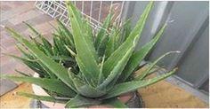Saiba por que é muito importante você ter dentro de casa uma planta de babosa! | Cura pela Natureza
