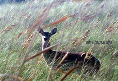 Island deer  Photo by: Catherine Chambers  Cats Close Ups